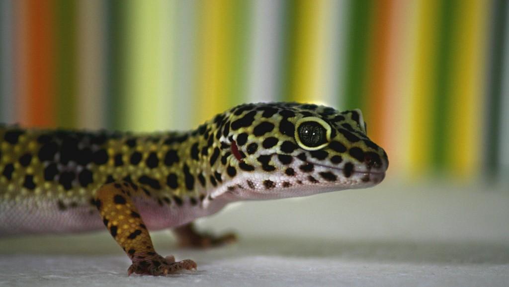 leopard-gecko-515491_1920