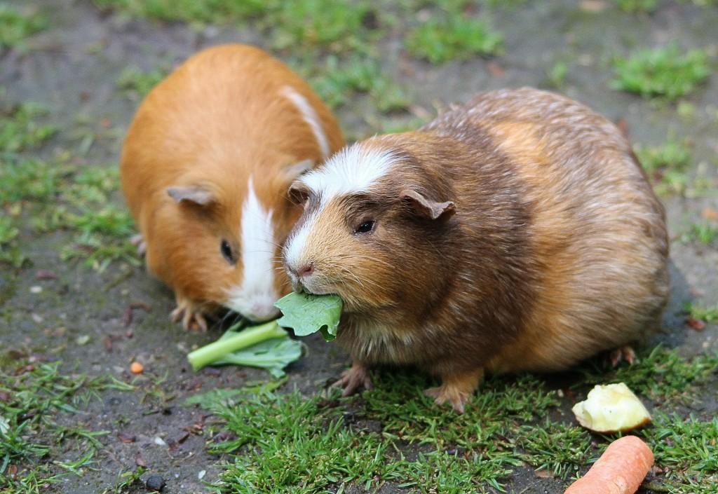guinea-pig-467399_1920