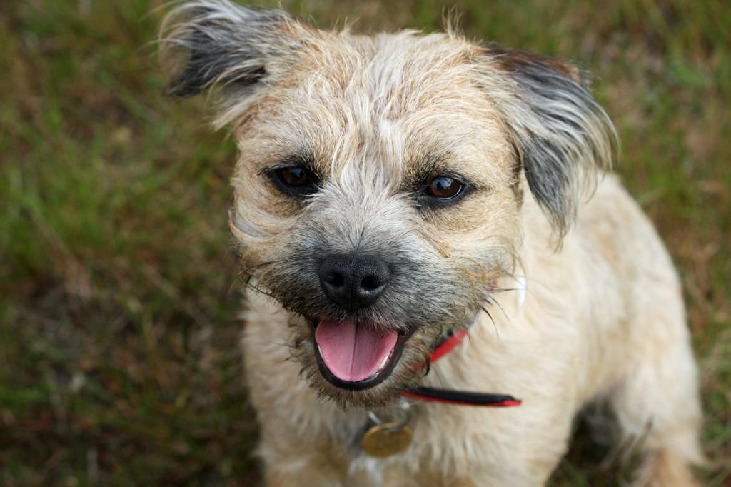 border-terrier-164079_1280