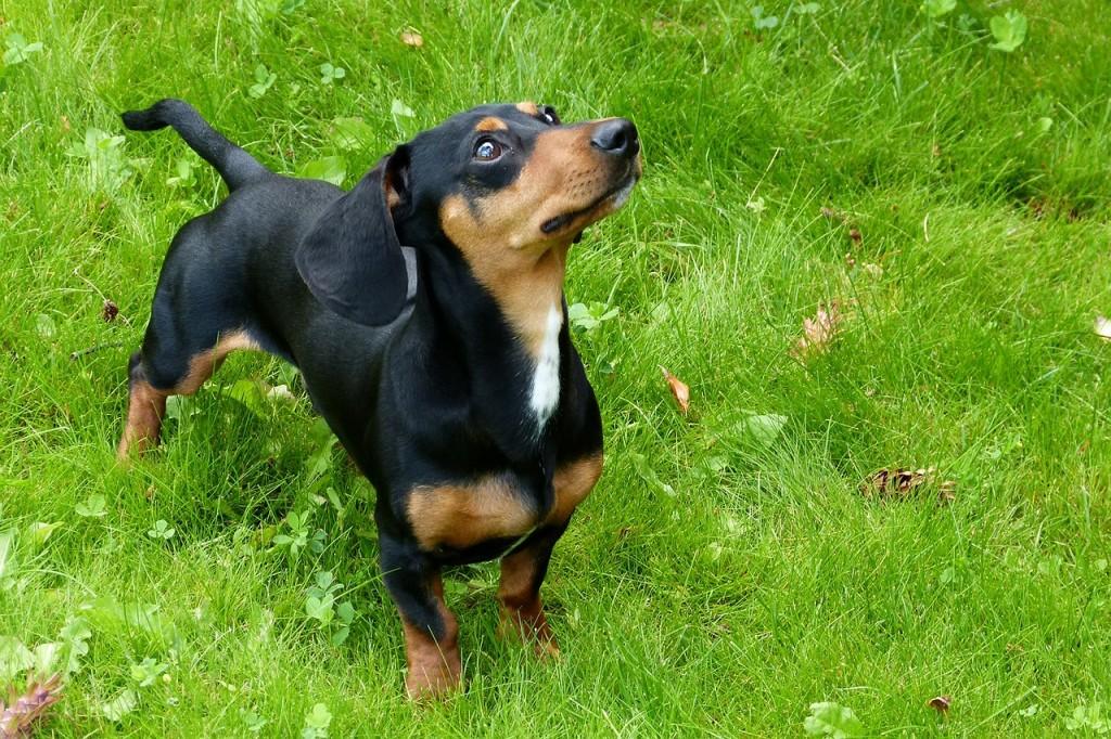 foxhound-53951_1280