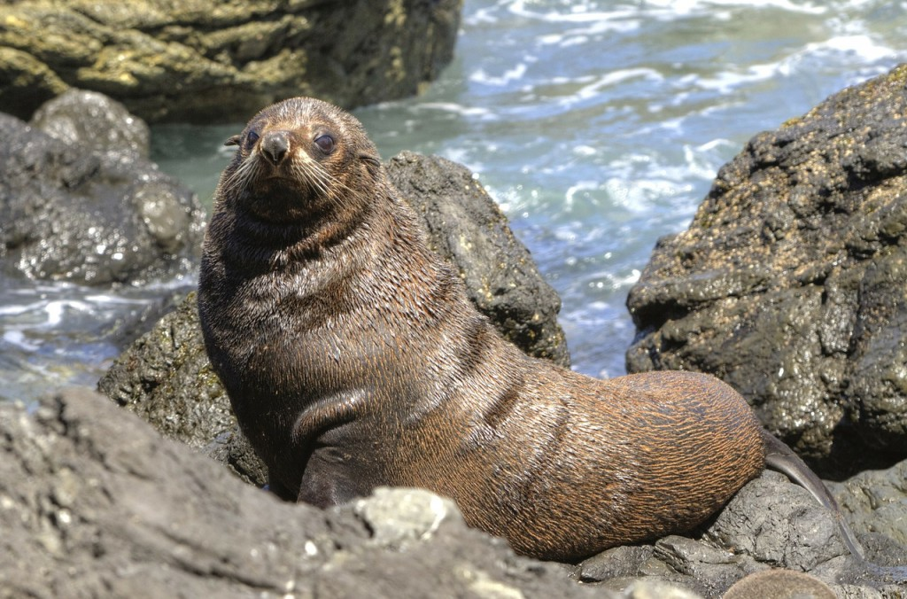 fur-seal-93495_1280