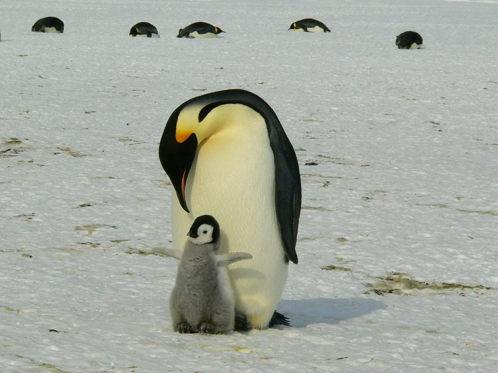 penguins-429134_1280
