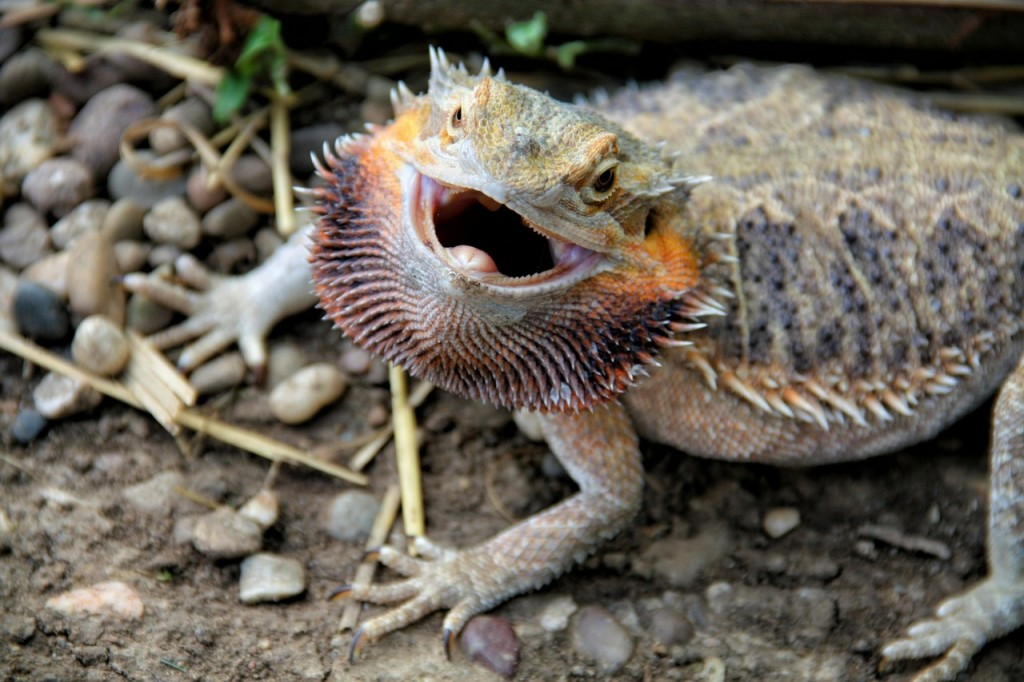 bearded-dragon-314833_1280